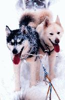 Kingmik Expedition sled dogs after a great run in the Canadian Rockies