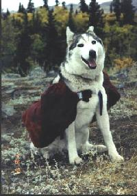 A Husk pack dog in the Yukon