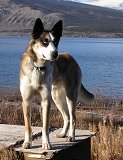 Monty, my gorgeous Alaskan husky, at home in Carcross, Yukon Territory